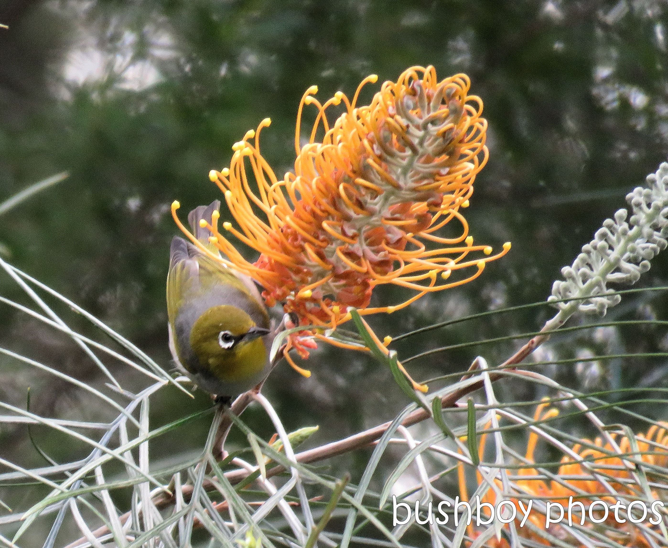silvereye_honey gem_named_home_july 2017