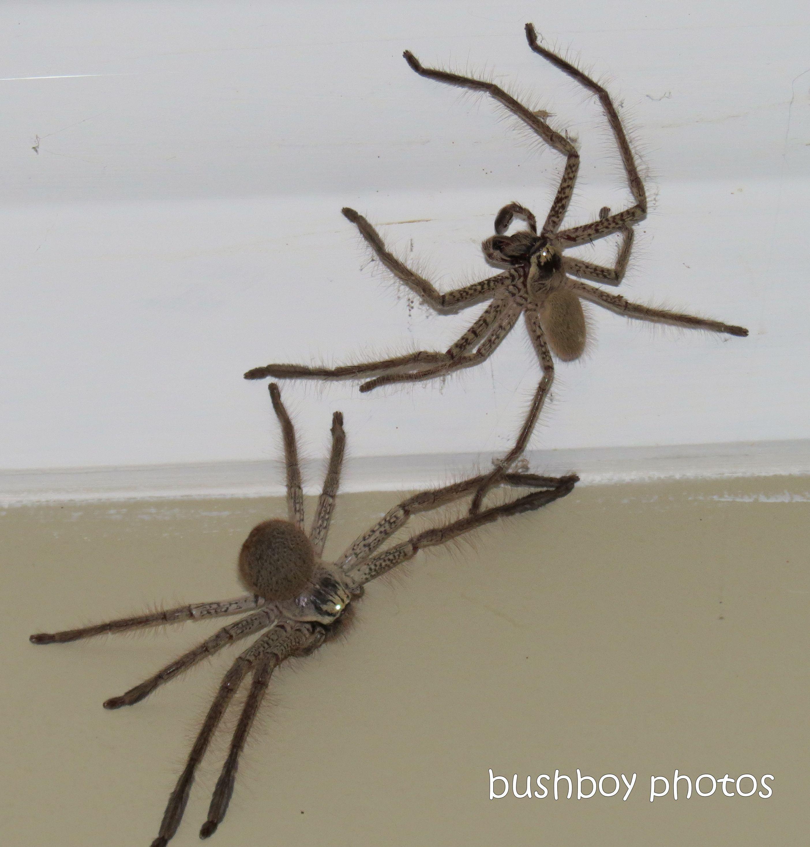 170907_word_intruding_huntsman spiderd