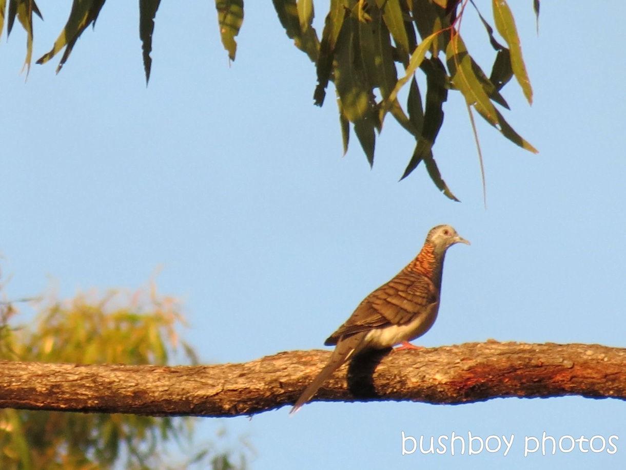 170914_letter d_bar shouldered dove