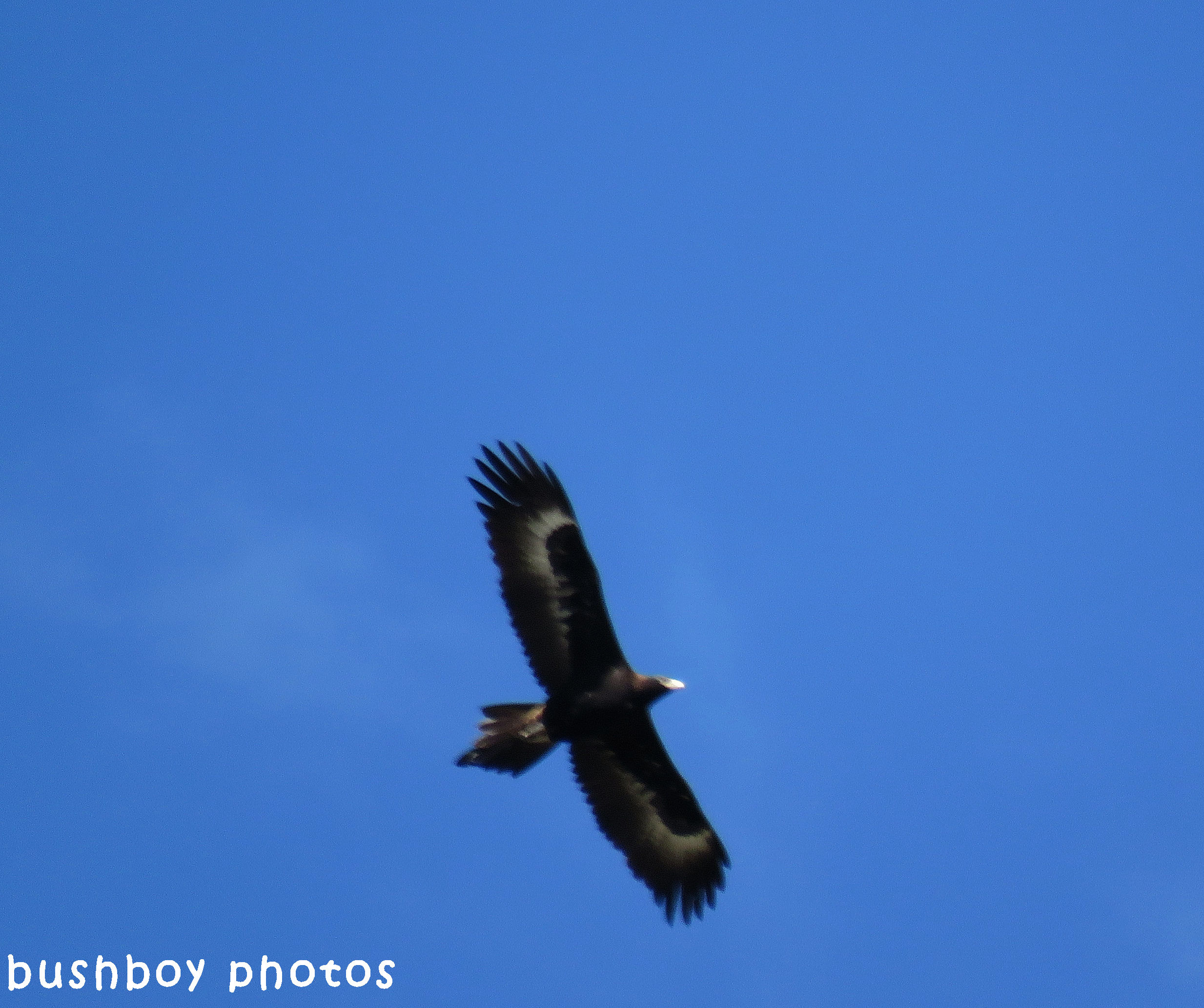 170920_blog challenge_letter E_wedged tail eagle_soaring