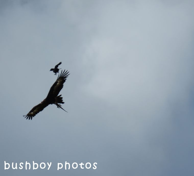 170920_blog challenge_letter E_wedged tail eagle_with dinner chased