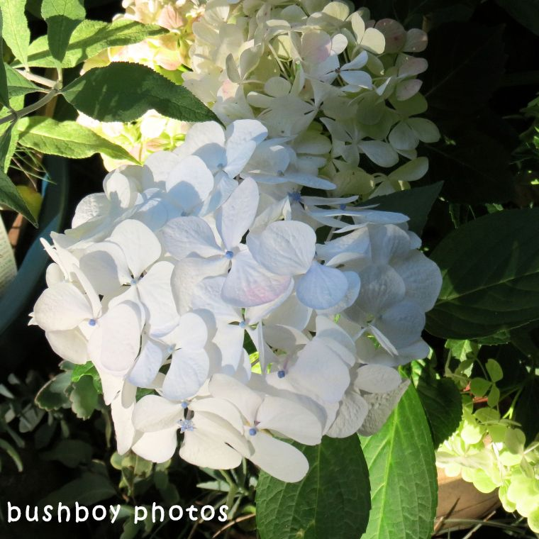 170920_blog challenge_square in september_white hydrangea