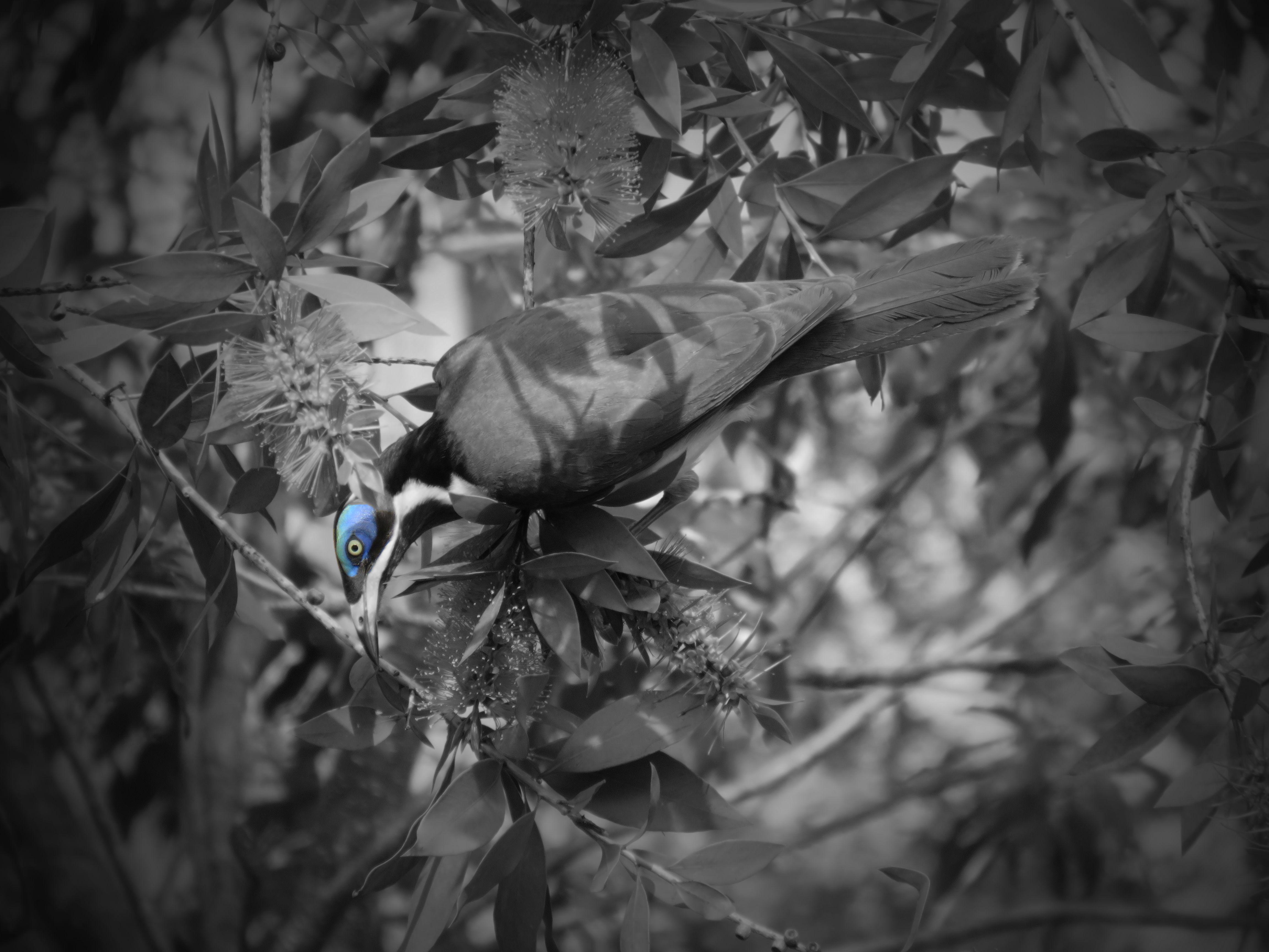 170926_blog challenge_bandw_back_blue faced honey eater