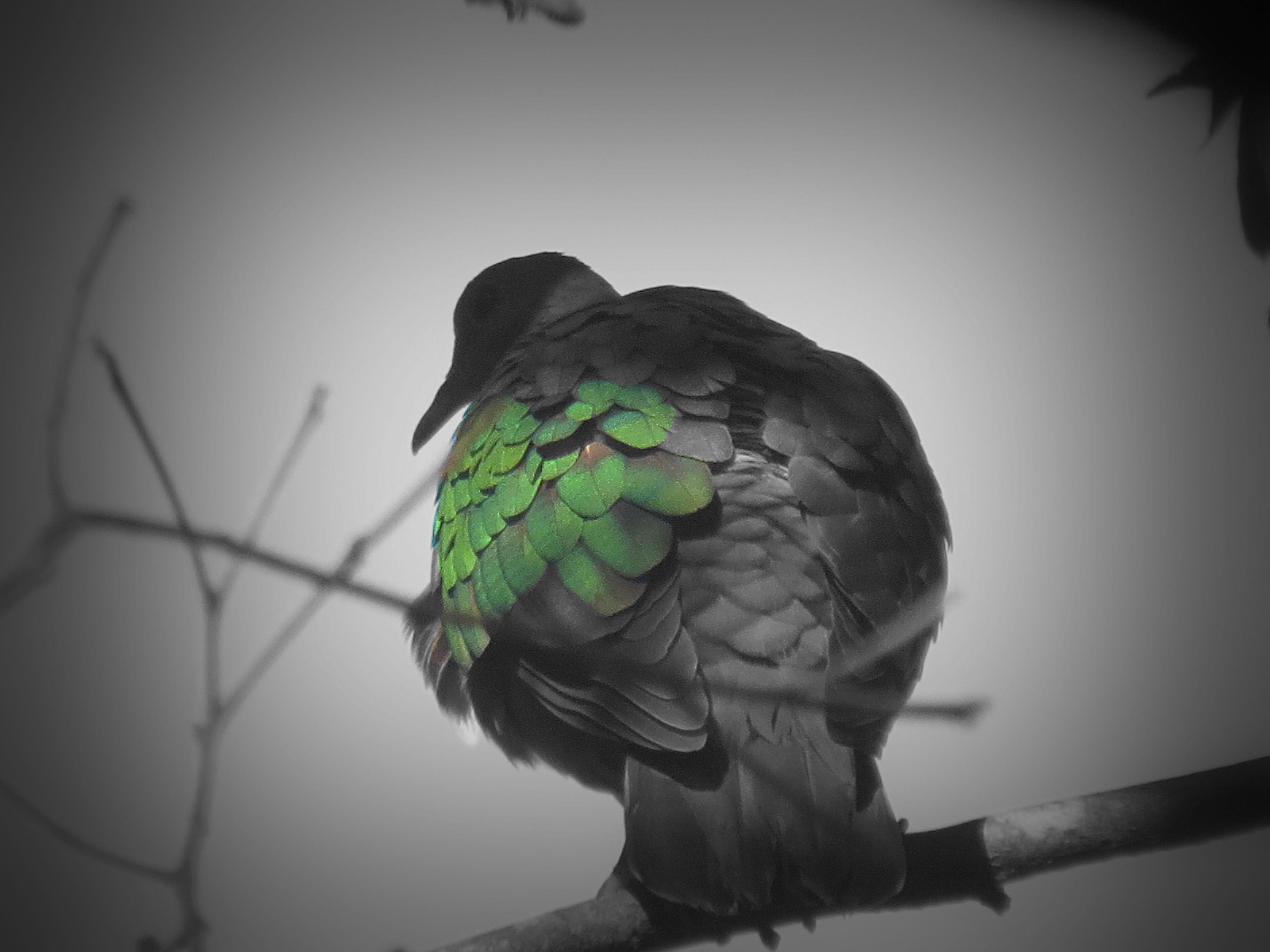 170926_blog challenge_bandw_back_emerald dove