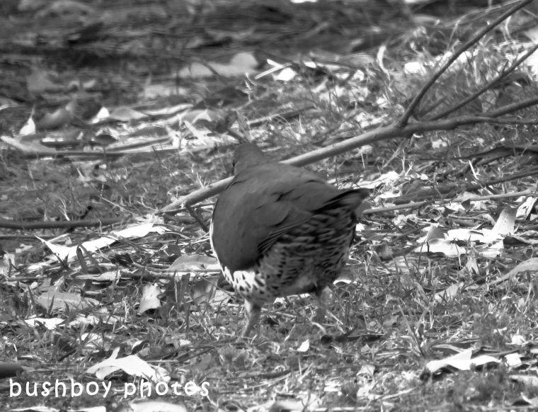 170926_blog challenge_bandw_back_wonga pigeon