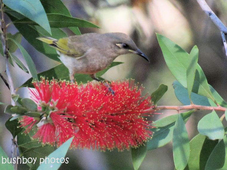 brown honeyeater_named_home_august 2017