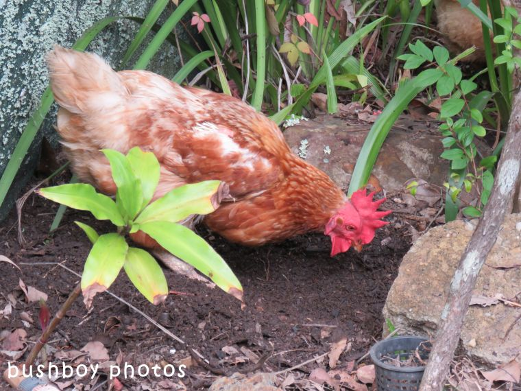 chooks_garden_looking_named_home_2017