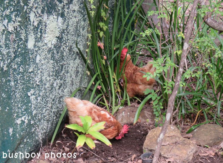 chooks_garden_named_home_2017