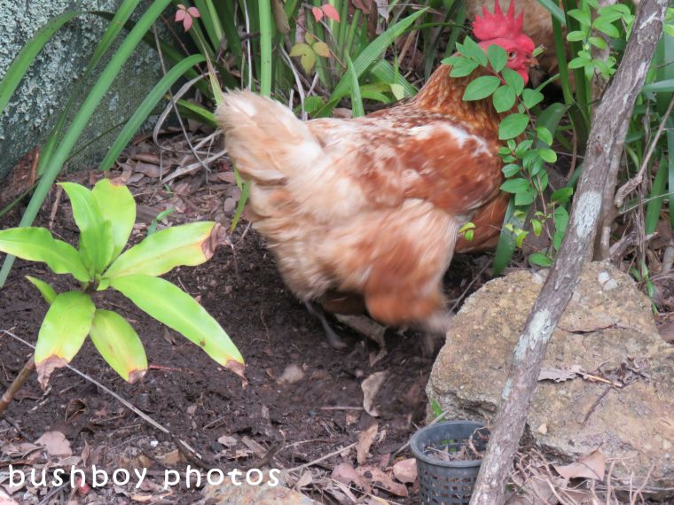 chooks_garden_scratching_named_home_2017