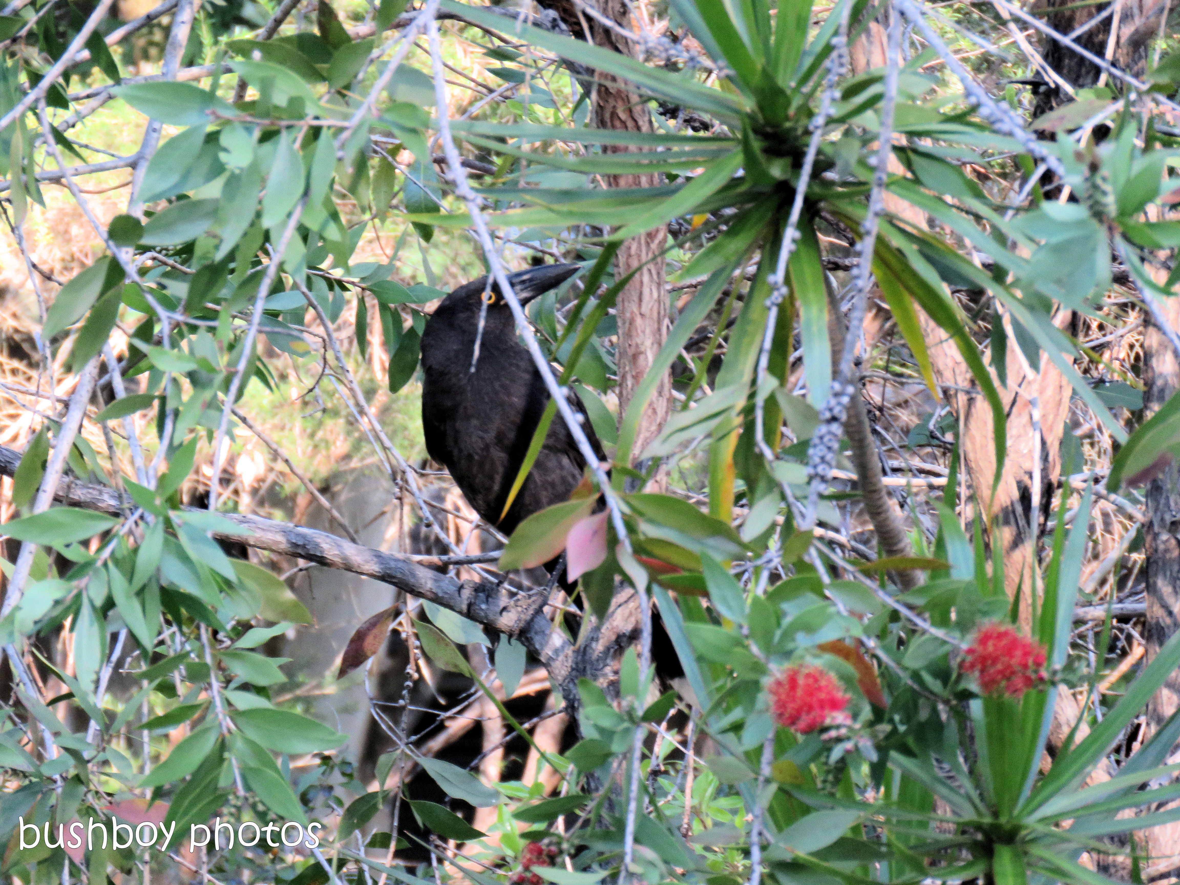 currawong_named_home_august 2017