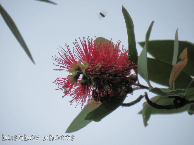 grevillea_red_bee_named_home_august 2017