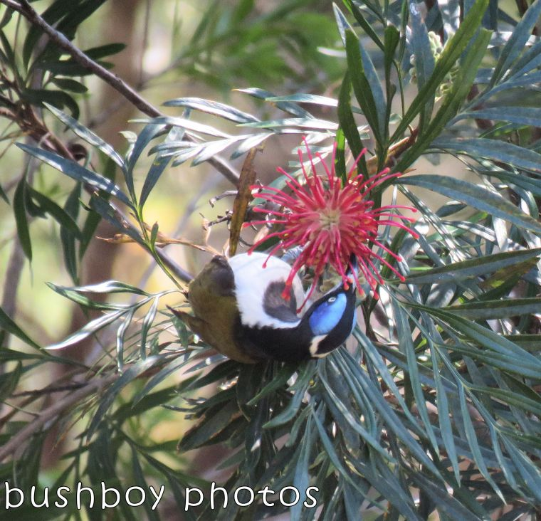 grevillea_red_blue faced honeyeater_named_home_august 2017