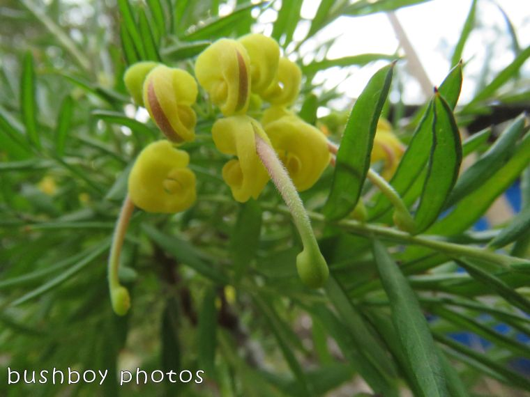 grevillea_yellow daze_named_home_august 2017