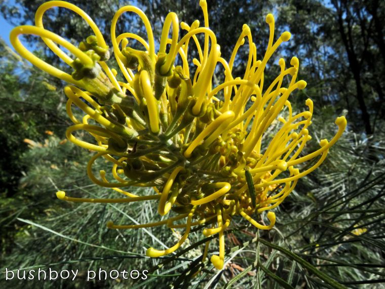 grevillea_yellow_named_home_august 2017