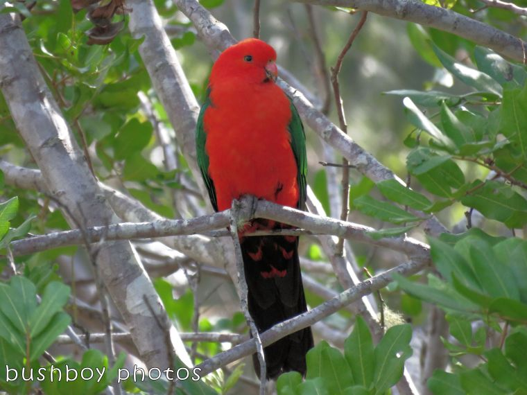 king parrot01_named_home_august 2017