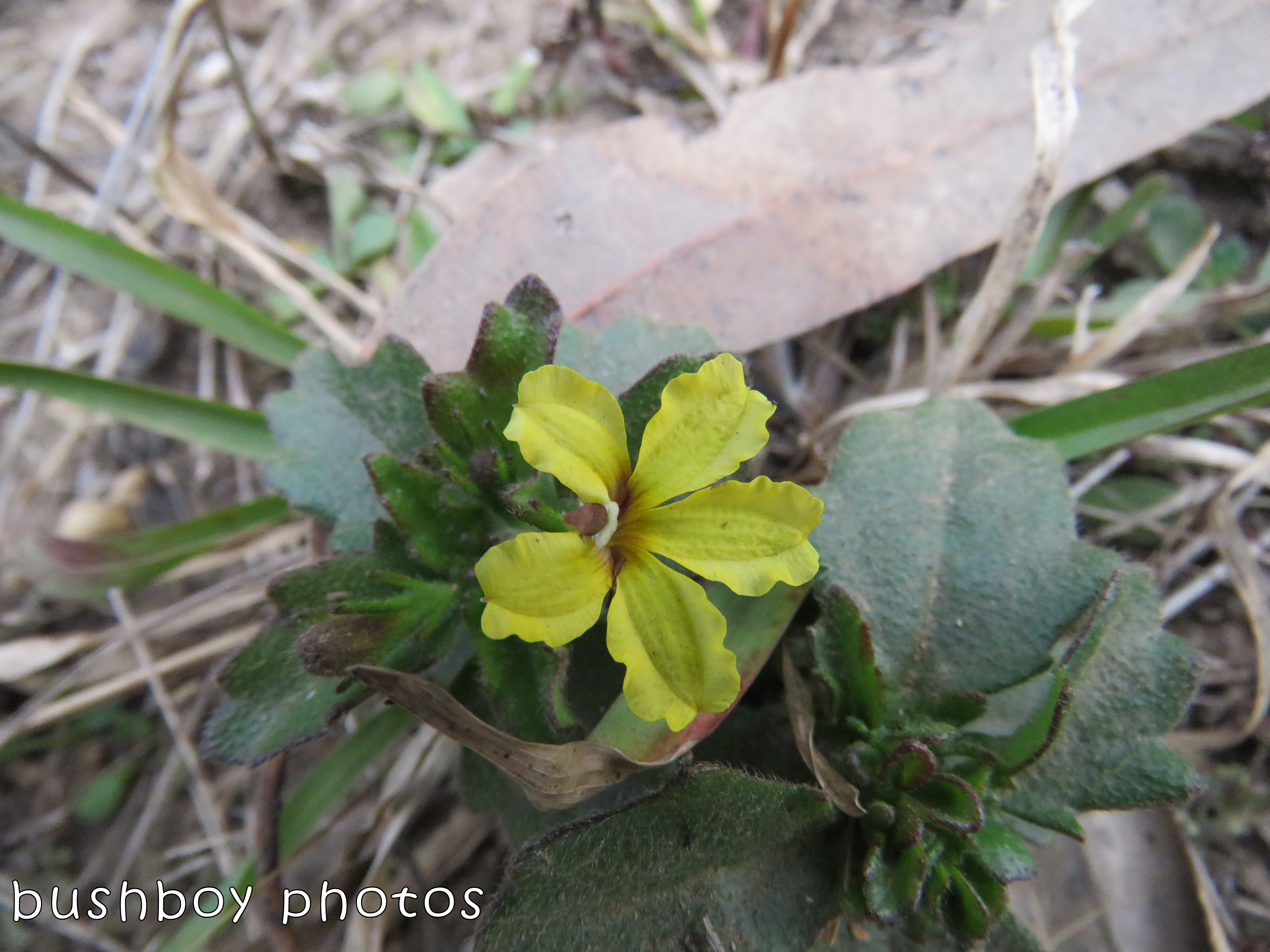 native flower_yellow hairy leaves_named_home_august 2017