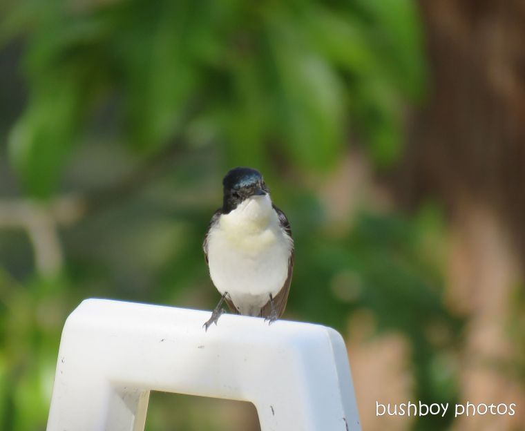 restless flycatcher_named_home_august 2017