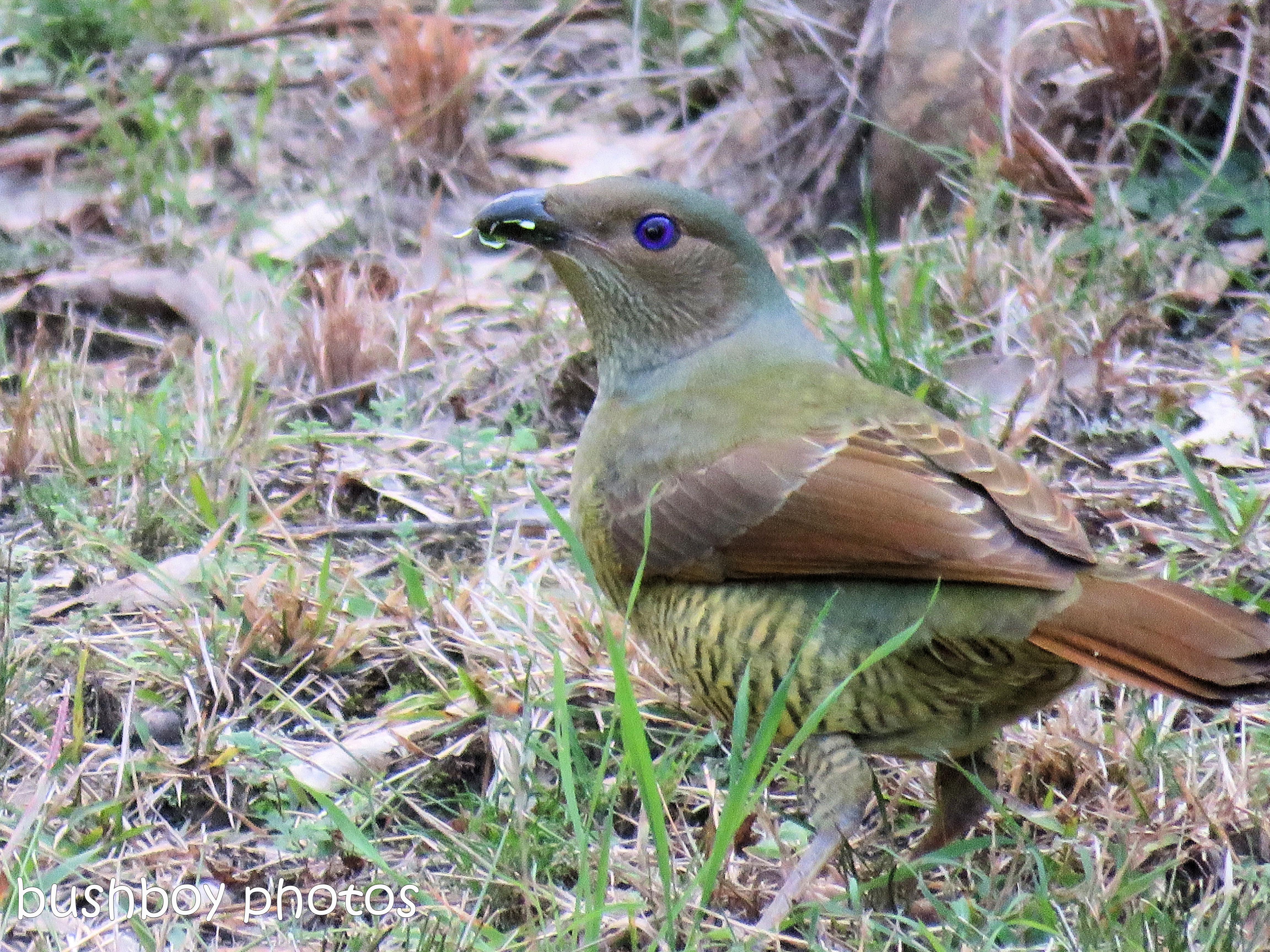 satin bower bird female_named_home_august 2017