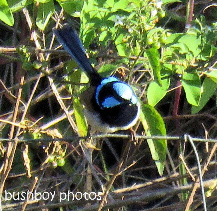 superb fairy wren_named_modanville_august 2017