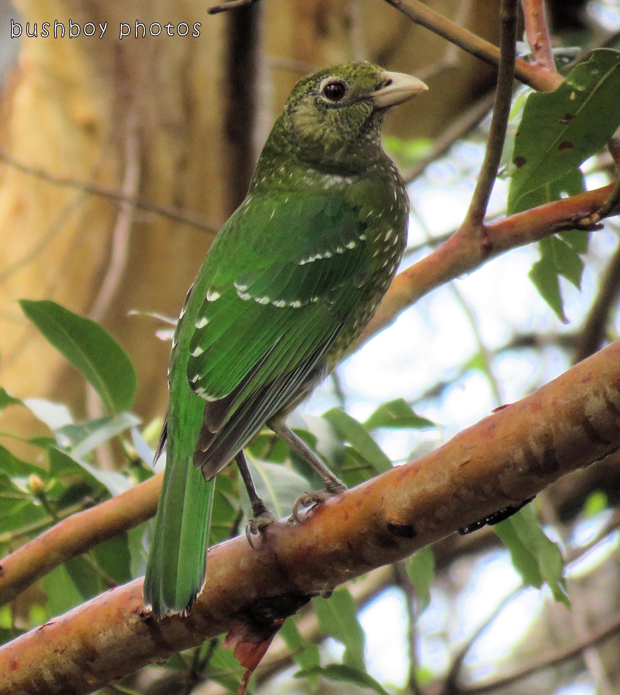 171017_blog challenge_bird_green catbird