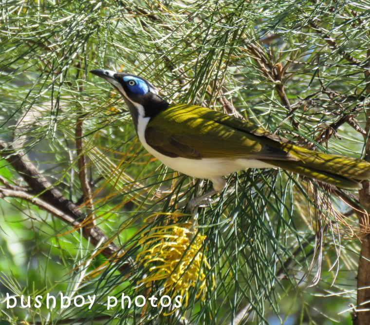 blue faced honeyeater01_named_home_sept 2017