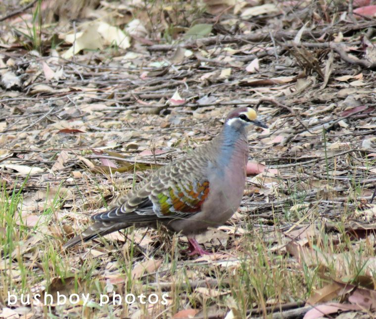 common bronzewing_named_home_sept 2017