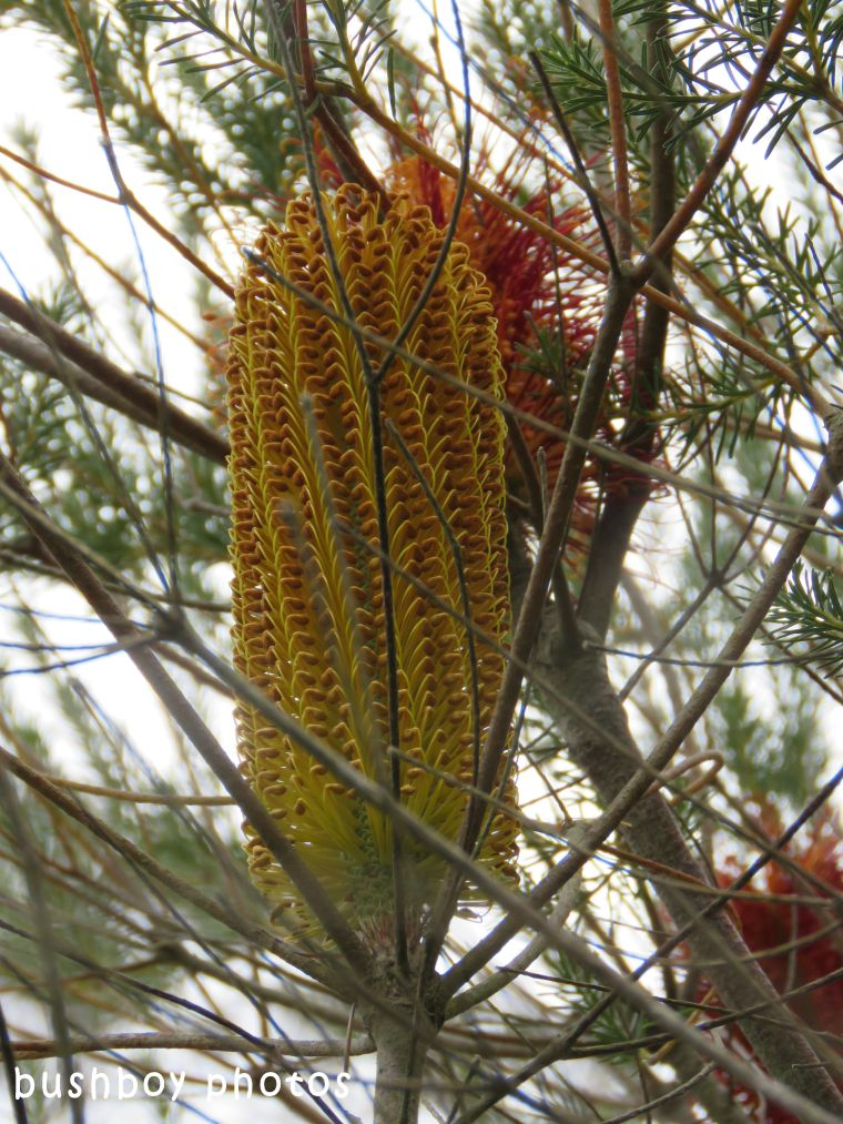 geoffs garden_candle banksia_named_oct 2017
