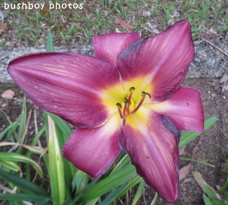 geoffs garden_day lily01_named_oct 2017