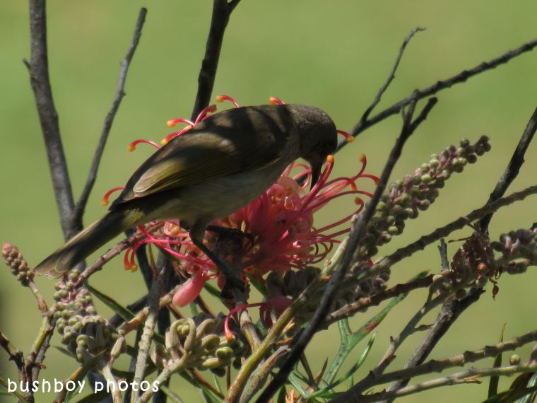 geoffs garden_grevillea_brown honeyeater_named_oct 2017
