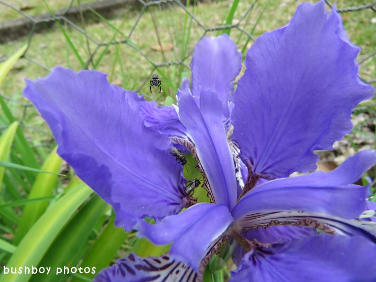 geoffs garden_iris_bees_named_oct 2017