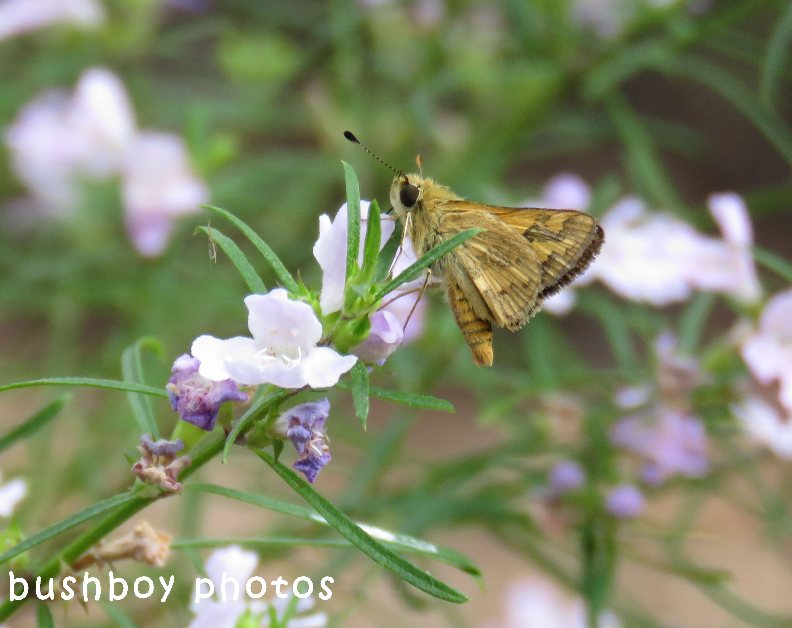 grass dart or skipper_named_home_sept 2017