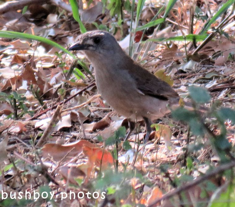 grey shrike thrush_named_binna burra_sept 2017