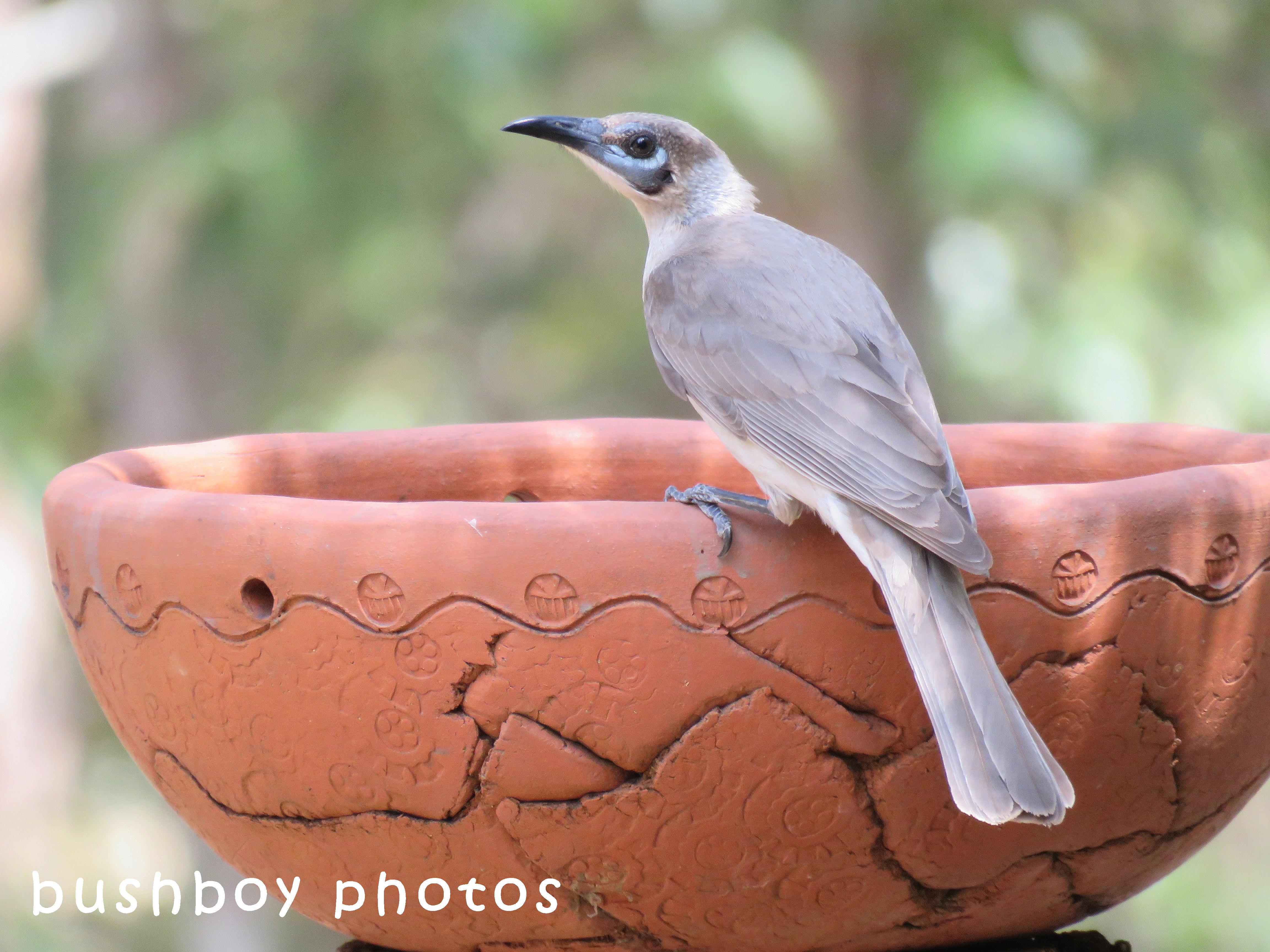 little friarbird_birdbath01_named_home_sept 2017