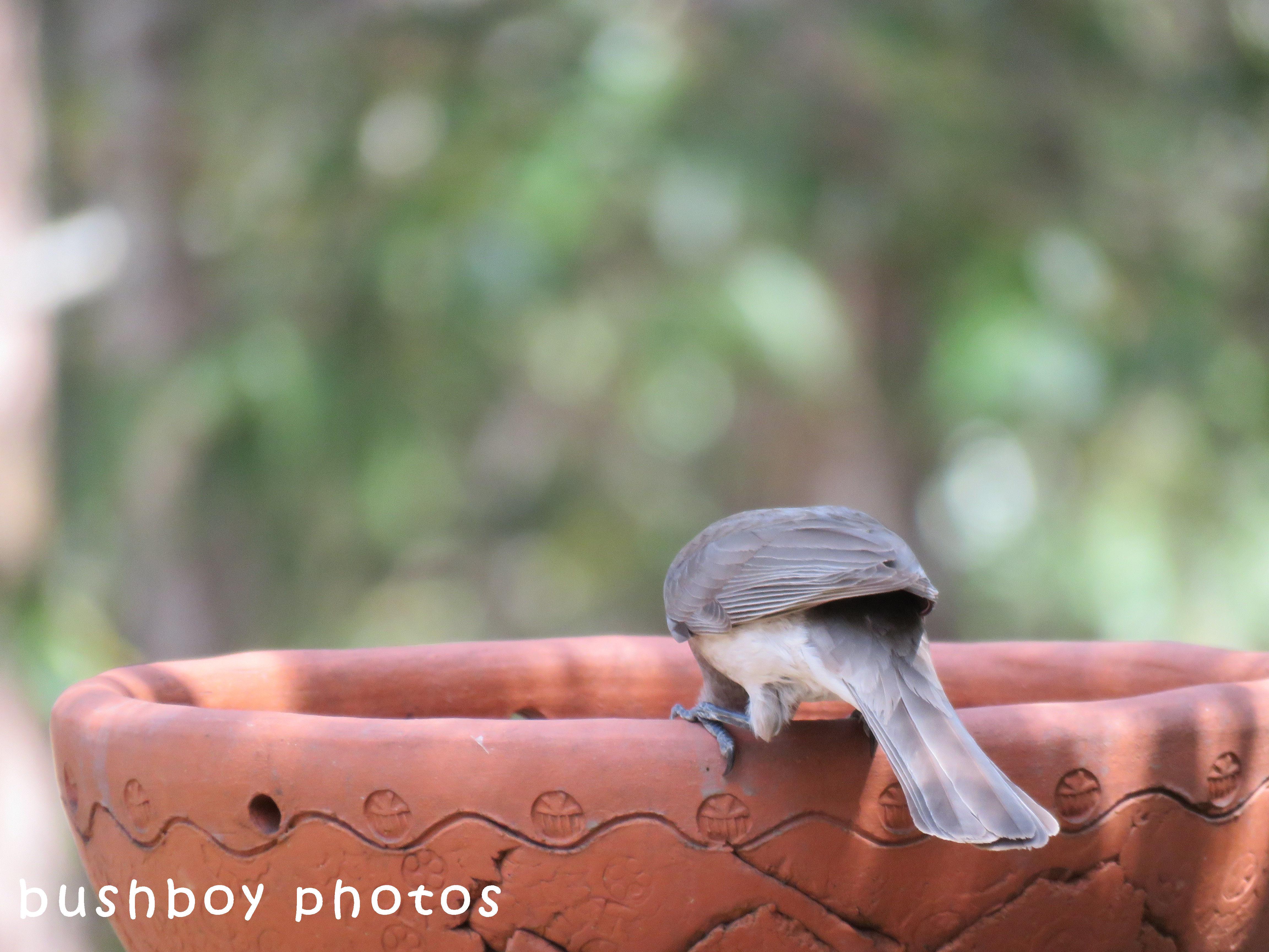 little friarbird_drinking_birdbath_named_home_sept 2017