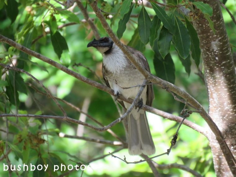 noisy friarbird_hiding_named_home_sept 2017