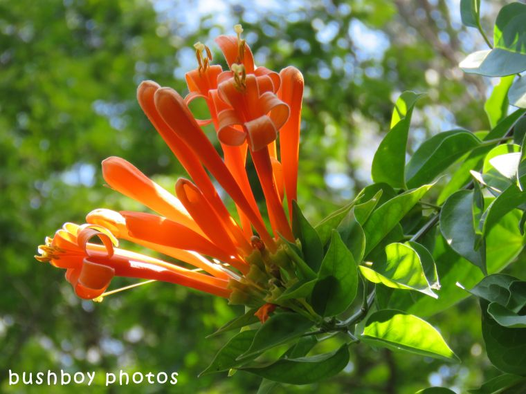 orange trumpet flower_named_home_sept 2017
