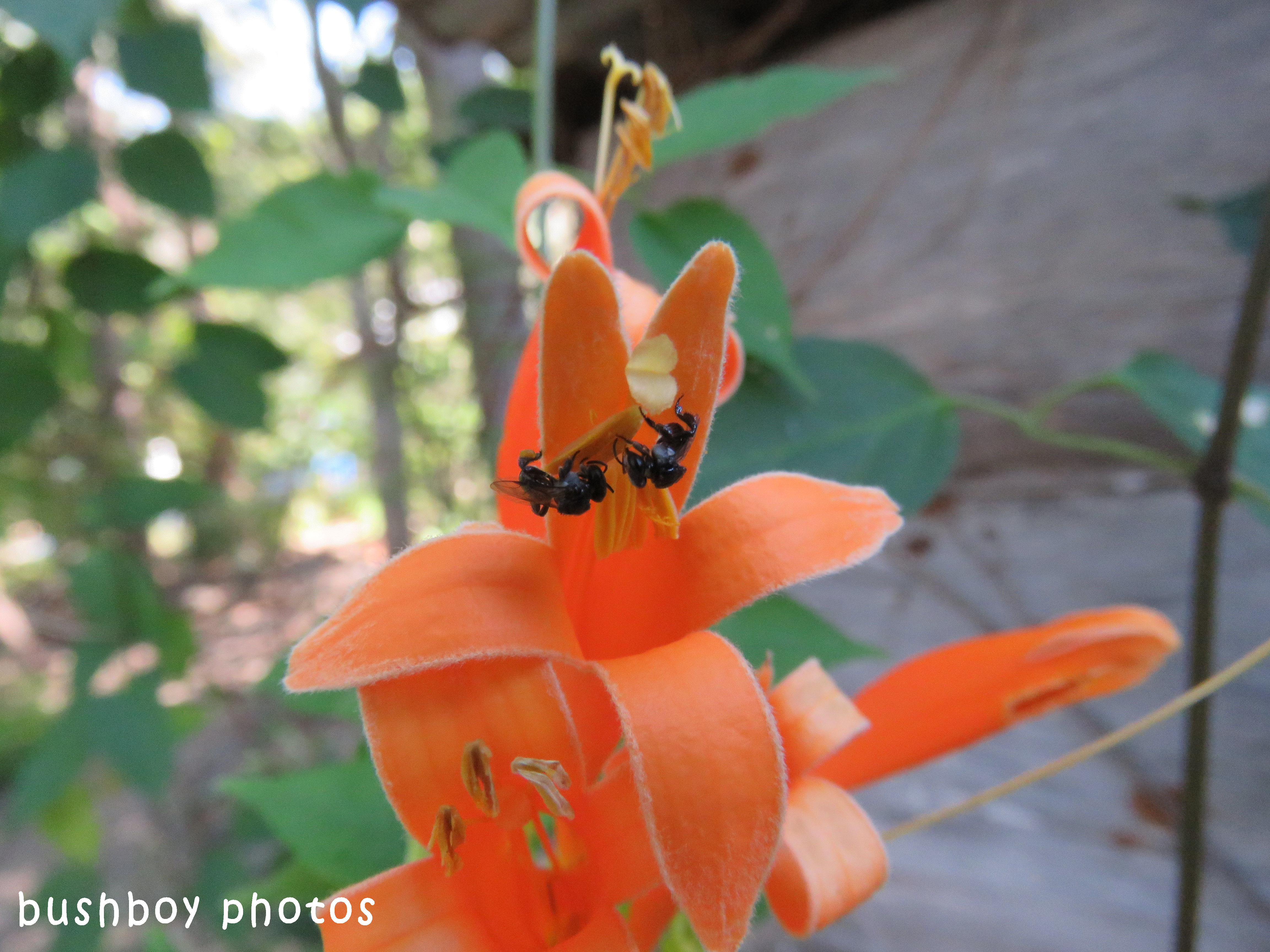 orange trumpet flower_stingless native bees_named_home_sept 2017