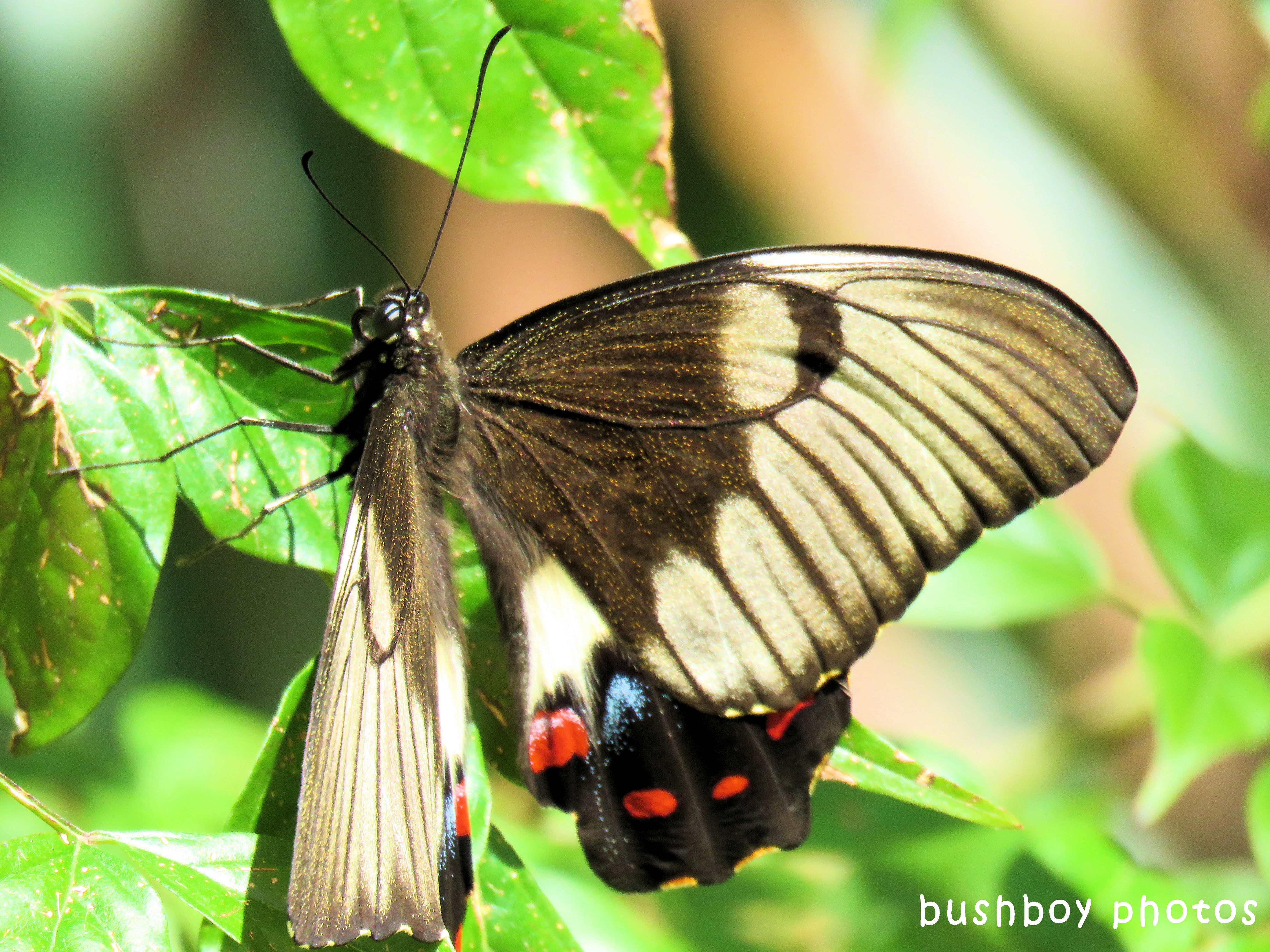 orchard swallowtail butterfly02_side_named_binna burra_sept 2017