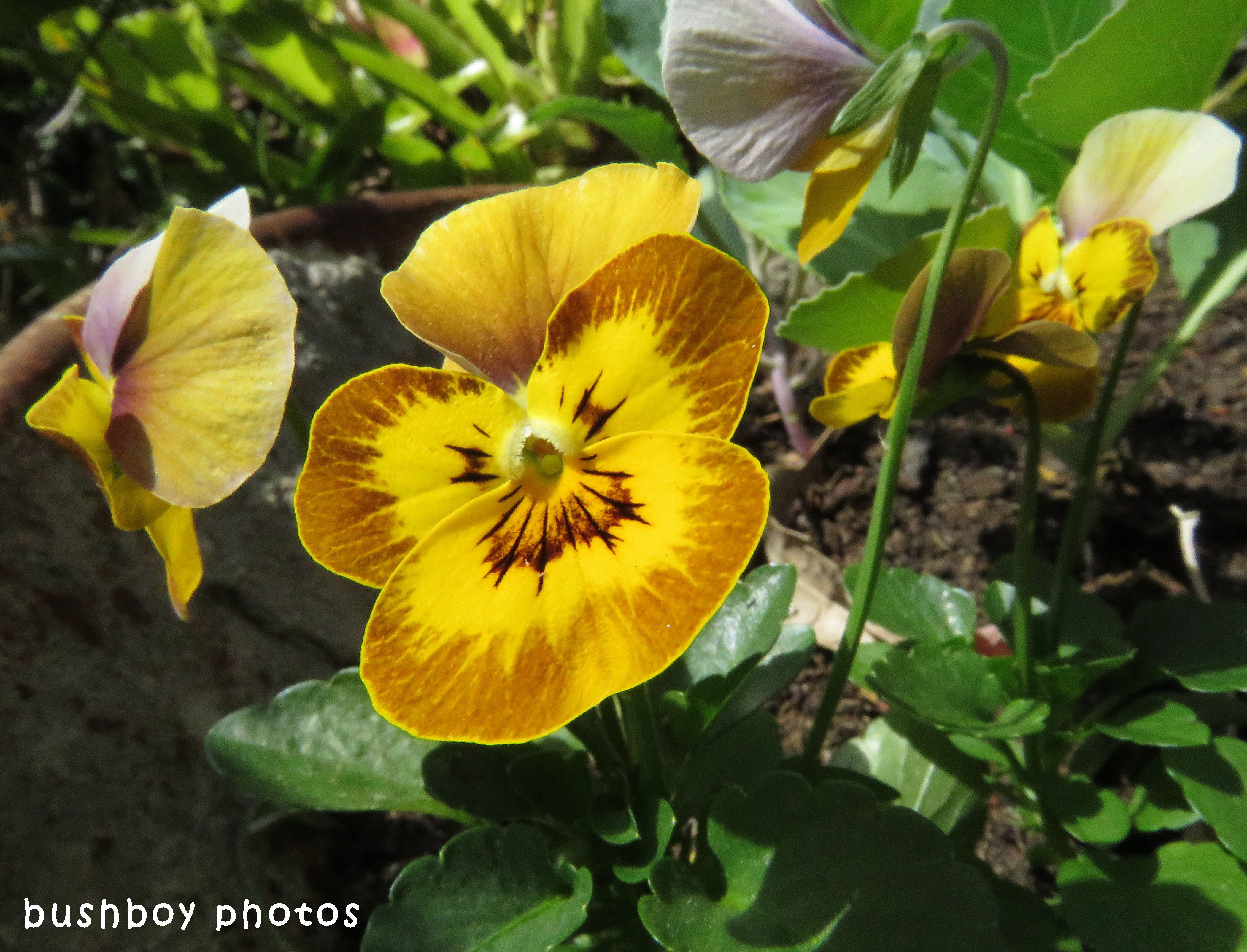 pansy_orange_named_binna burra_sept 2017