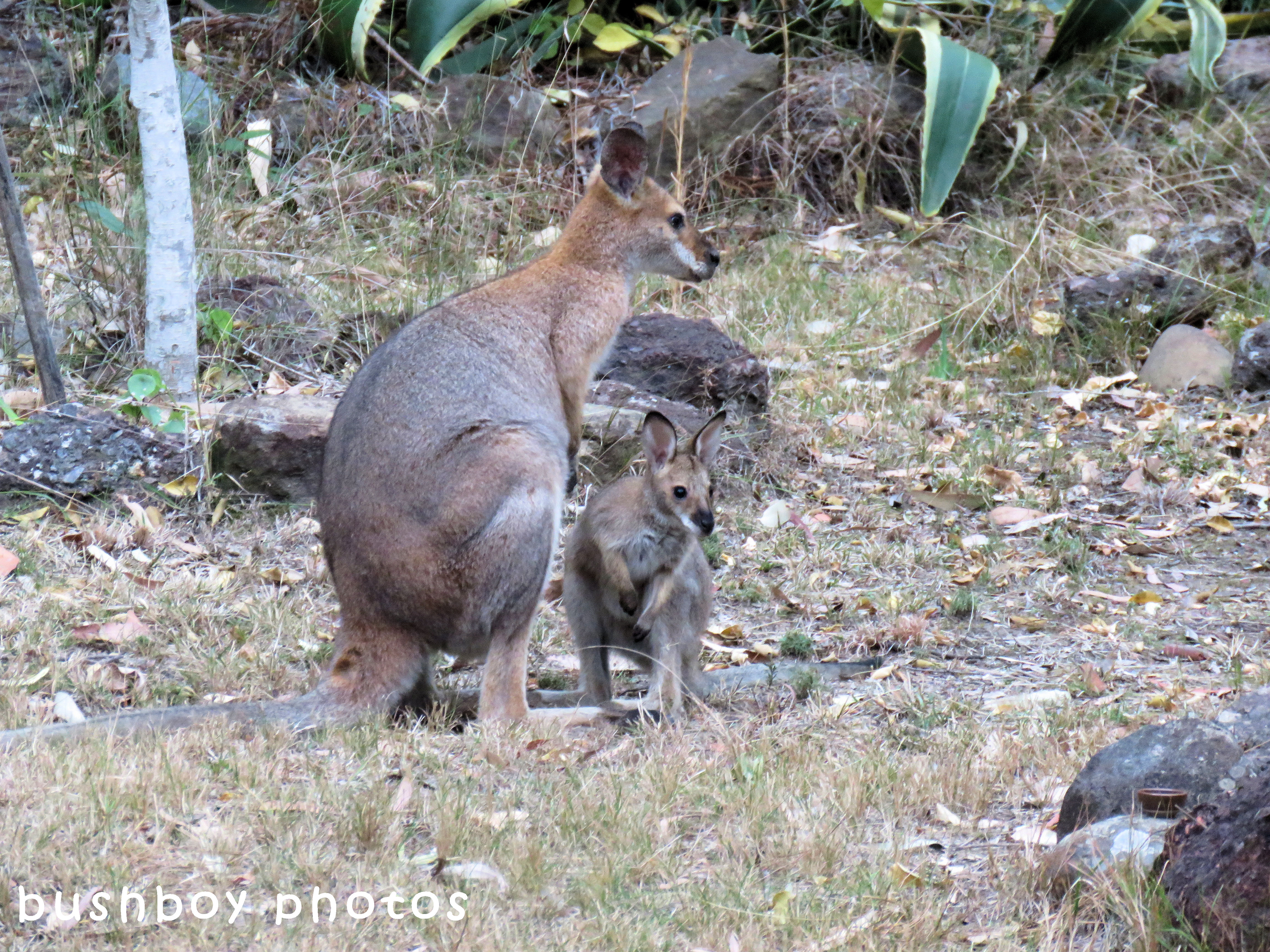 red necked wallaby_joey_named_home_sept 2017