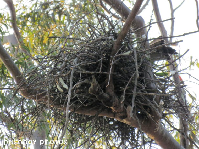 square tailed kite_nest_named_home_sept 2017