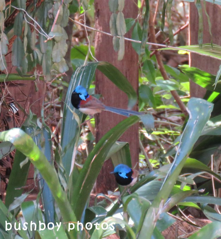 variegated fairy wren_males_named_binna burra_sept 2017