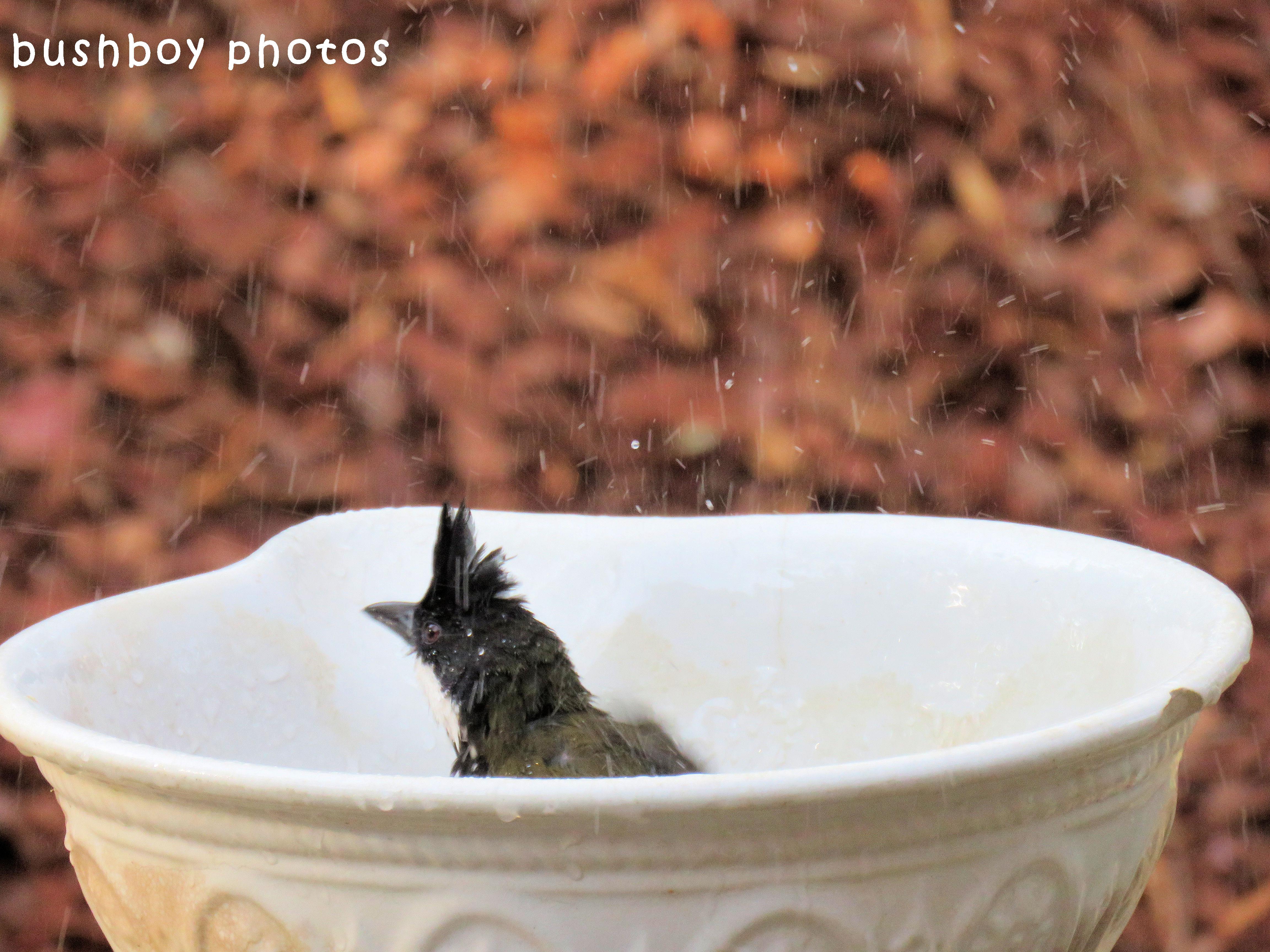 whipbird01_in birdbath_named_binna burra_sept 2017