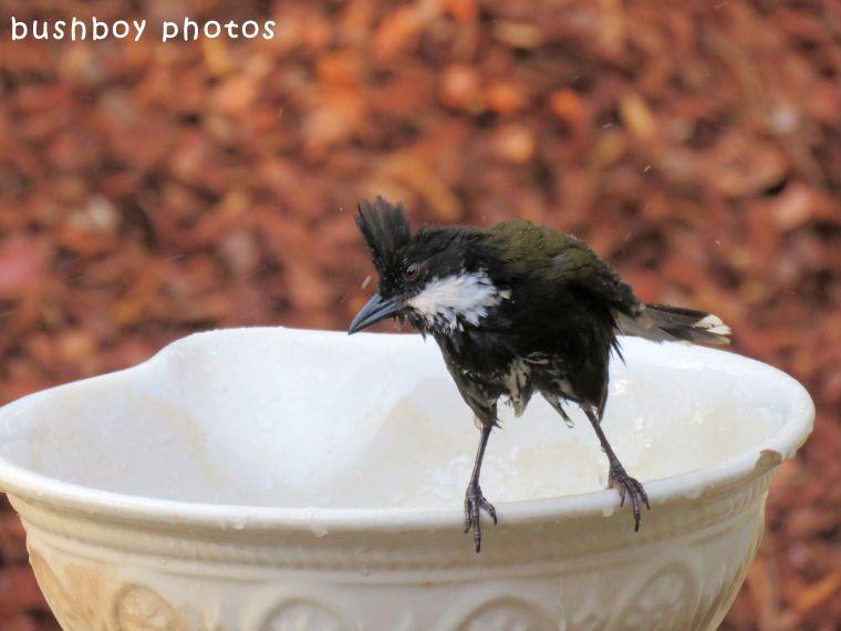 whipbird02_birdbath_named_binna burra_sept 2017