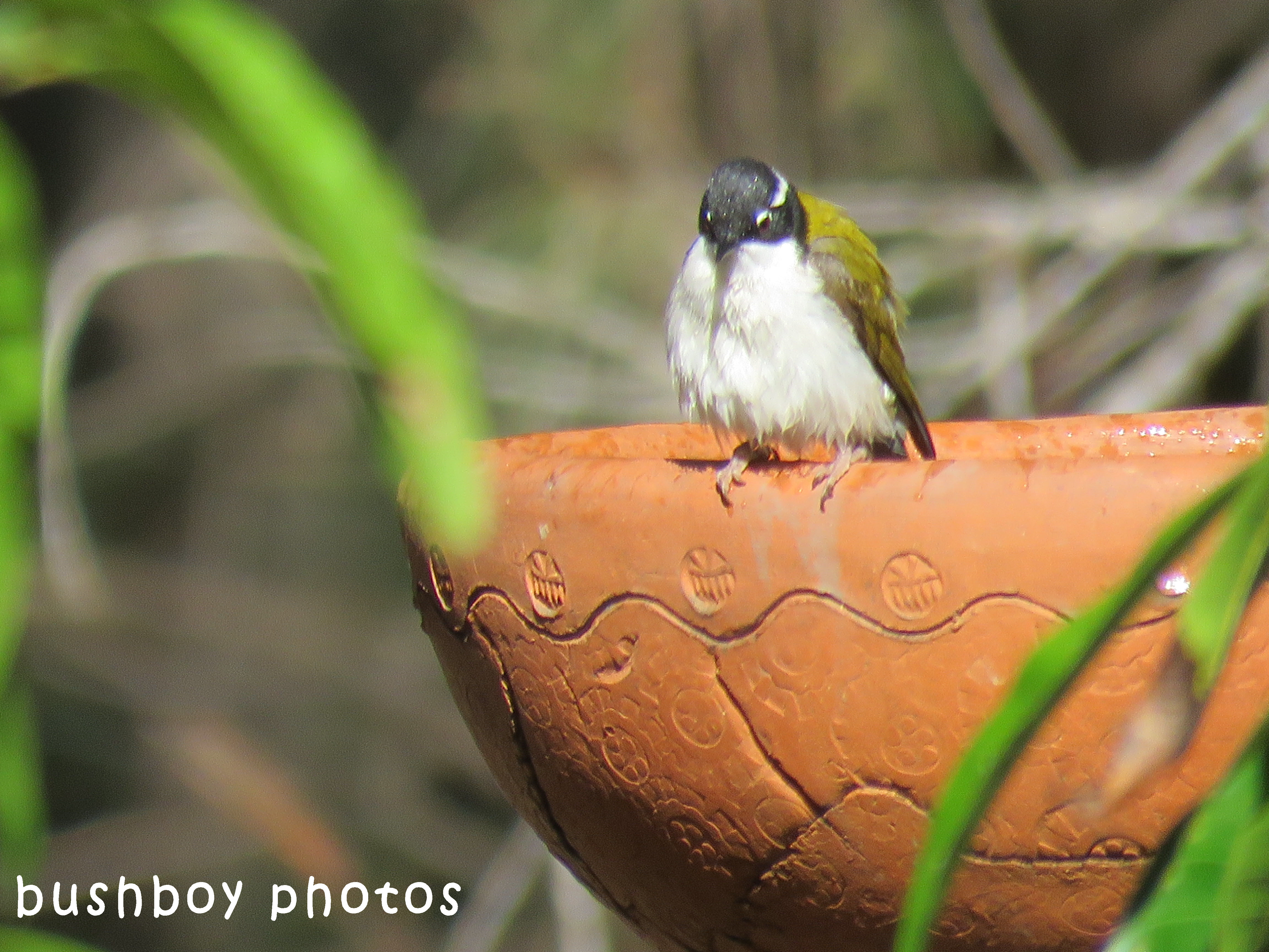 white throated honeyeater_birdbath_named_home_sept 2017