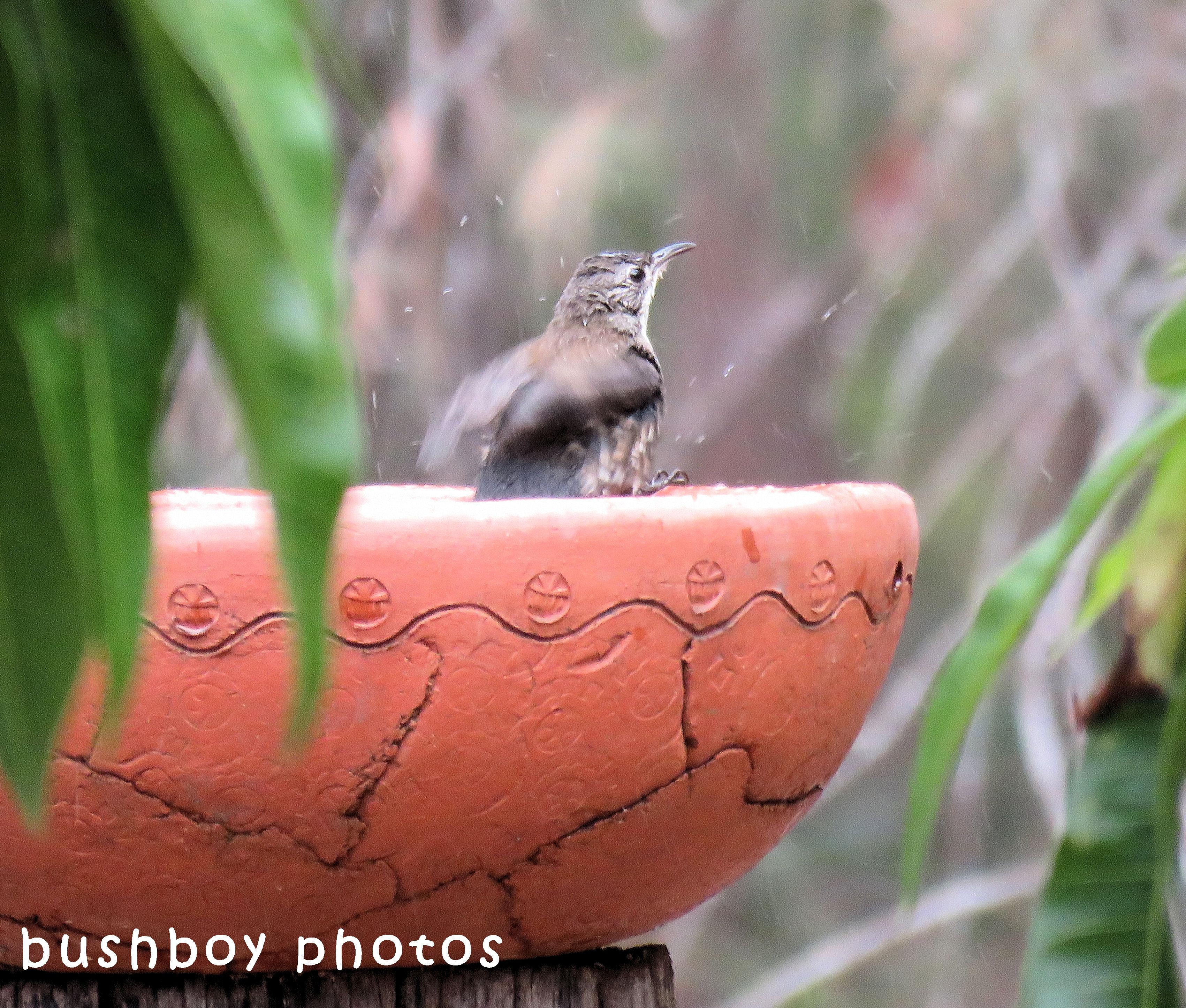white throated treecreeper_birdbath_splash_named_home-sept 2017