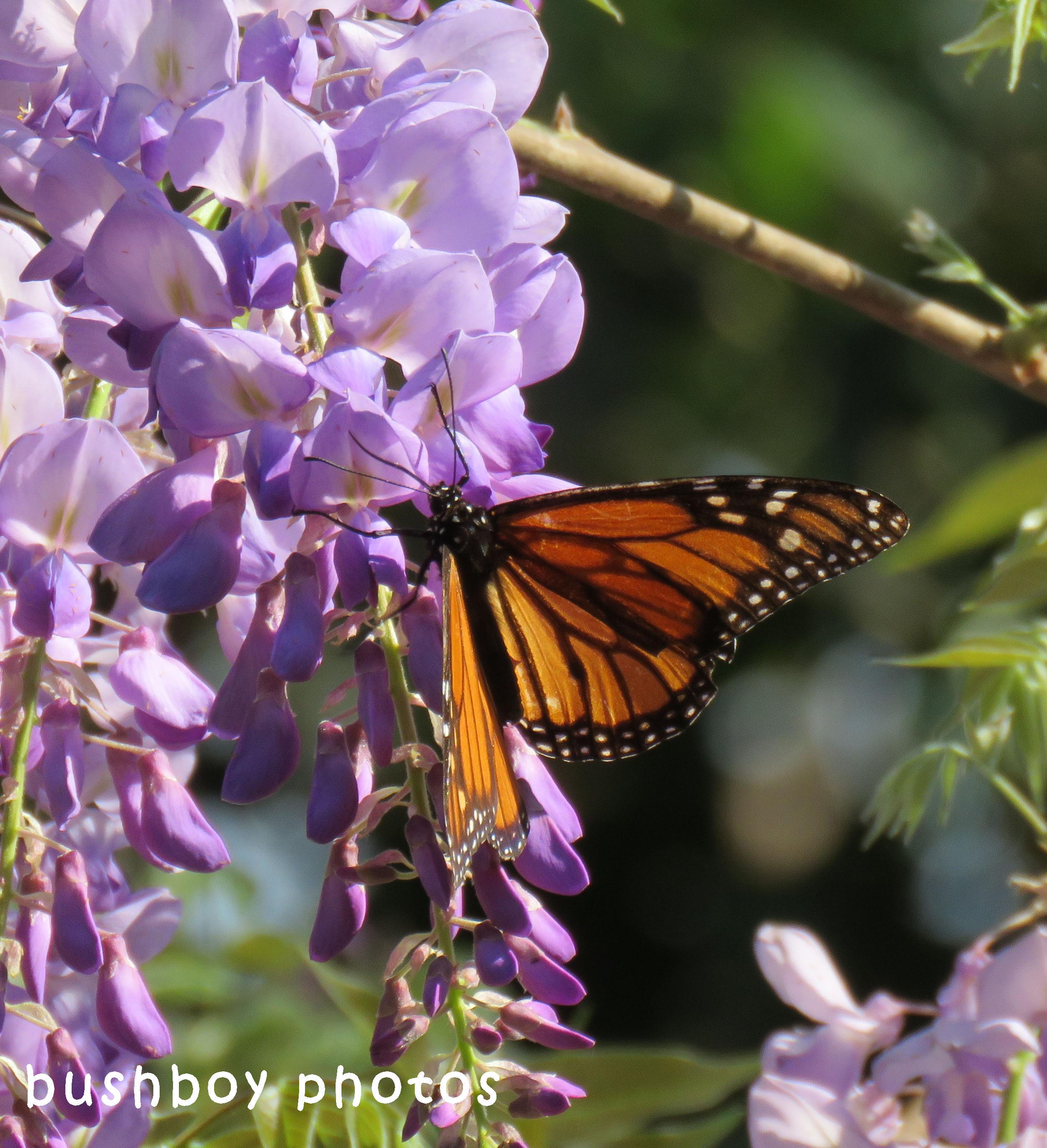 wisteria02_wanderer butterfly_crop_named_binna burra_sept 2017