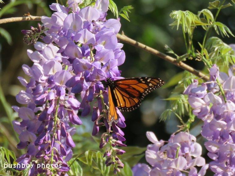 wisteria02_wanderer butterfly_named_binna burra_sept 2017