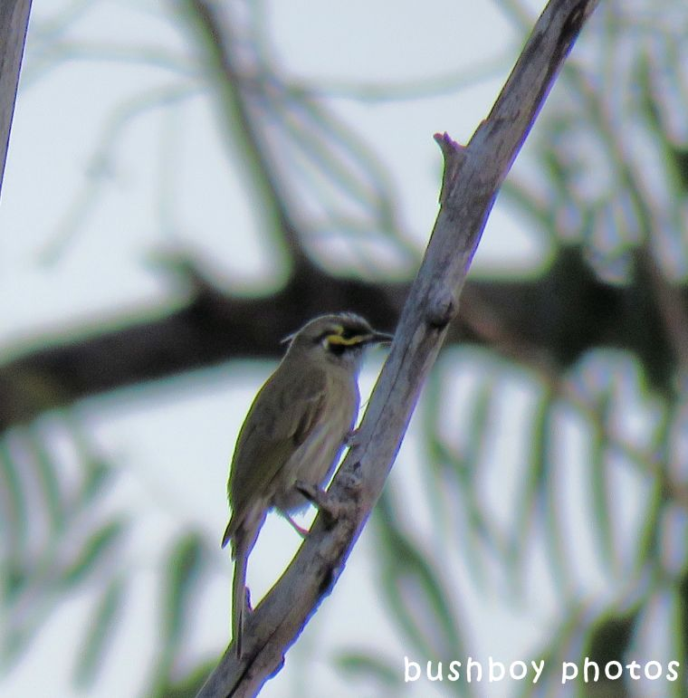 yellow faced honeyeater_named_home_sept 2017