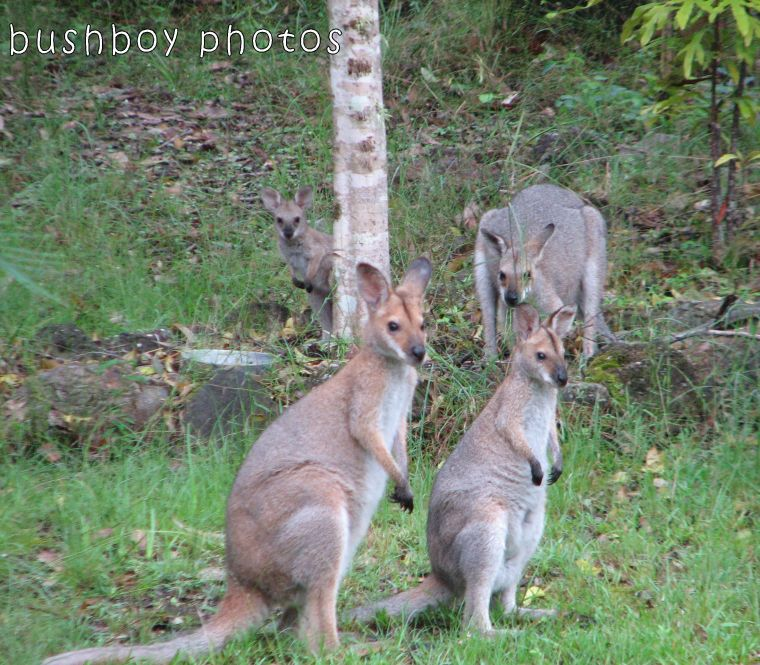 171102_blog challenge_peek_wallaby03